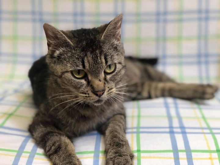 Rose, an adoptable Domestic Short Hair in Myerstown, PA