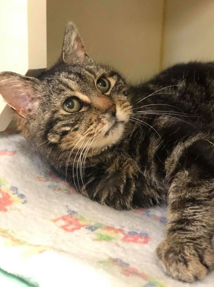 Wendy, an adoptable Domestic Short Hair in Myerstown, PA