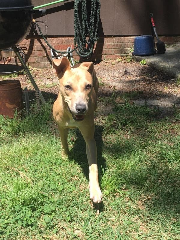 Ella, an adoptable Whippet Mix in Clayton, NC