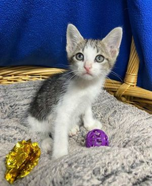 Coconut 41374 is a 7-8 week old kitten that was picked up by an officer He is the sweetest of
