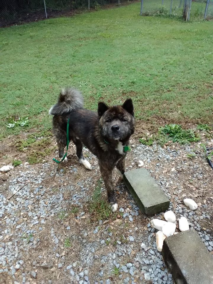 Enzo, an adoptable Akita in Toms River, NJ