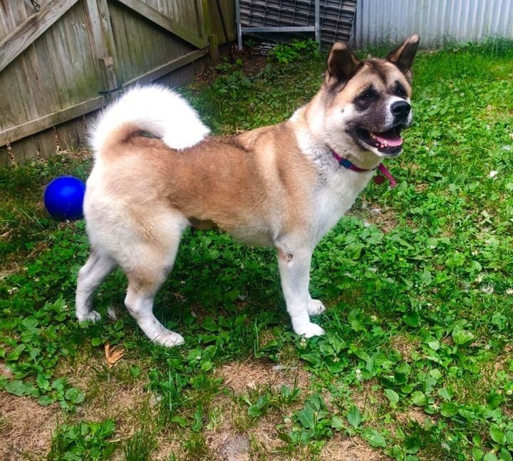 Honey, an adopted Akita in Toms River, NJ