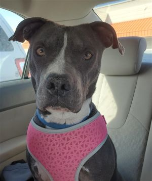 Primary Color Grey Secondary Color White Weight 62lbs Animal has been Neutered