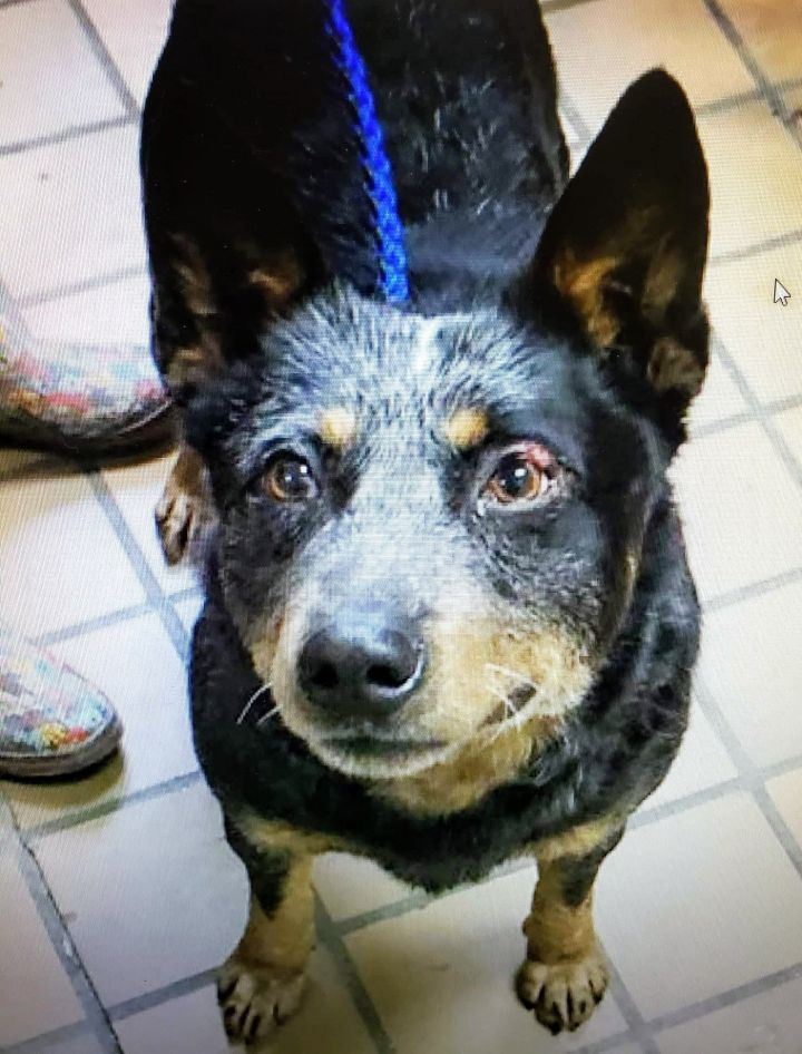 Gus, an adoptable Australian Cattle Dog / Blue Heeler in Charleston, WV