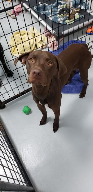 This is Solar He is a 7 month old male Chocolate Lab mix He is super sweet and loves attention