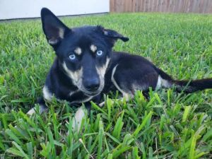 You can fill out an adoption application online on our official websiteBlu is a male HuskyCorgi mi