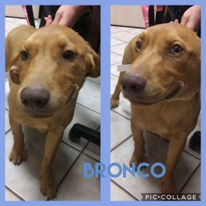 Bronco is 5 months old and weighs 28 pounds He is a happy boy that loves attention He will be