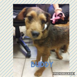 Buddy is a cute wire haired terrier He is 5 months old and weighs right at 33 pounds He is