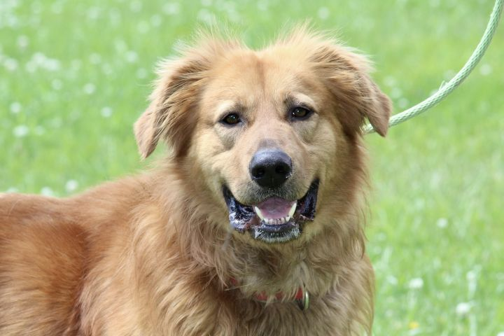 Dog For Adoption Tylen A Golden Retriever Chow Chow Mix In Brazil In Petfinder