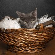 Everest, an adoptable Domestic Short Hair Mix in Myakka City, FL