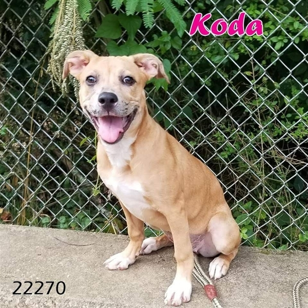 Koda, an adoptable Hound Mix in Oak Ridge, TN