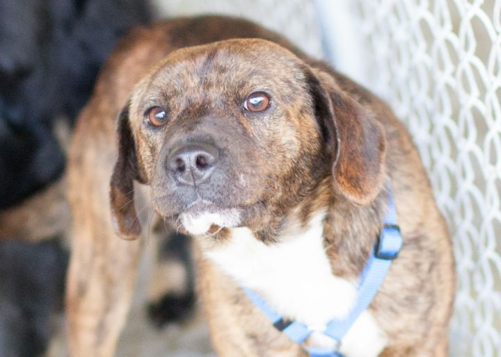 CHANDLER, an adopted Mixed Breed in Cape Girardeau, MO