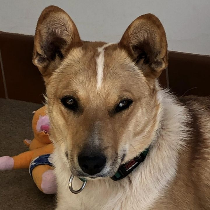 Everrett, an adopted Corgi Mix in Jackson, WY