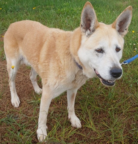 Sandy, an adoptable Shepherd & Husky Mix in Lenoir, NC