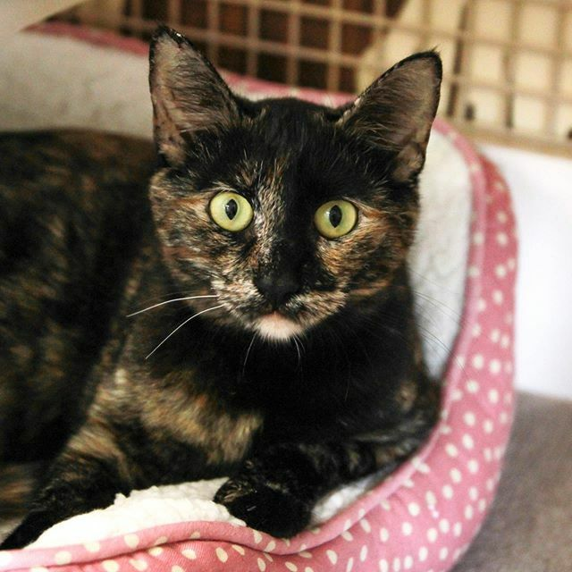 Hermonie, an adoptable Domestic Short Hair in Mission Viejo, CA