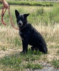 Chevy, an adopted Australian Cattle Dog / Blue Heeler in Ridgway, CO
