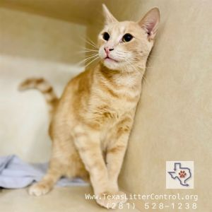 Jacapo Domestic Short Hair Cat