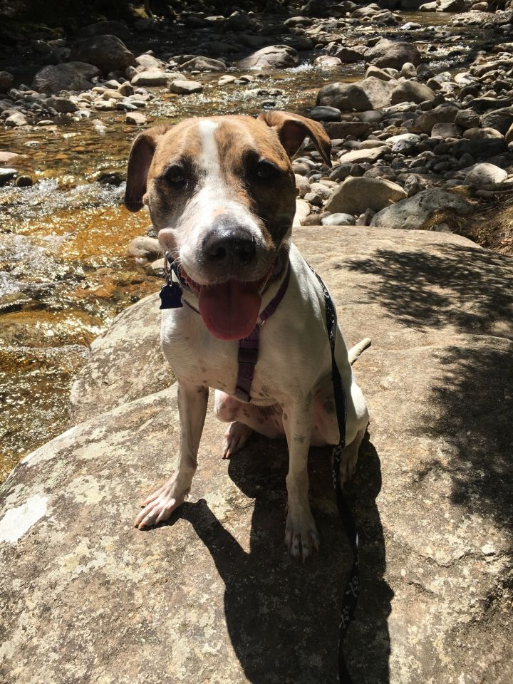 Talulah Rae, an adoptable Catahoula Leopard Dog Mix in Brunswick, ME
