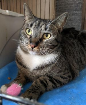 Gorgeous Luna needs a home  Luna is a bit of a small cat and when she is seeking affection