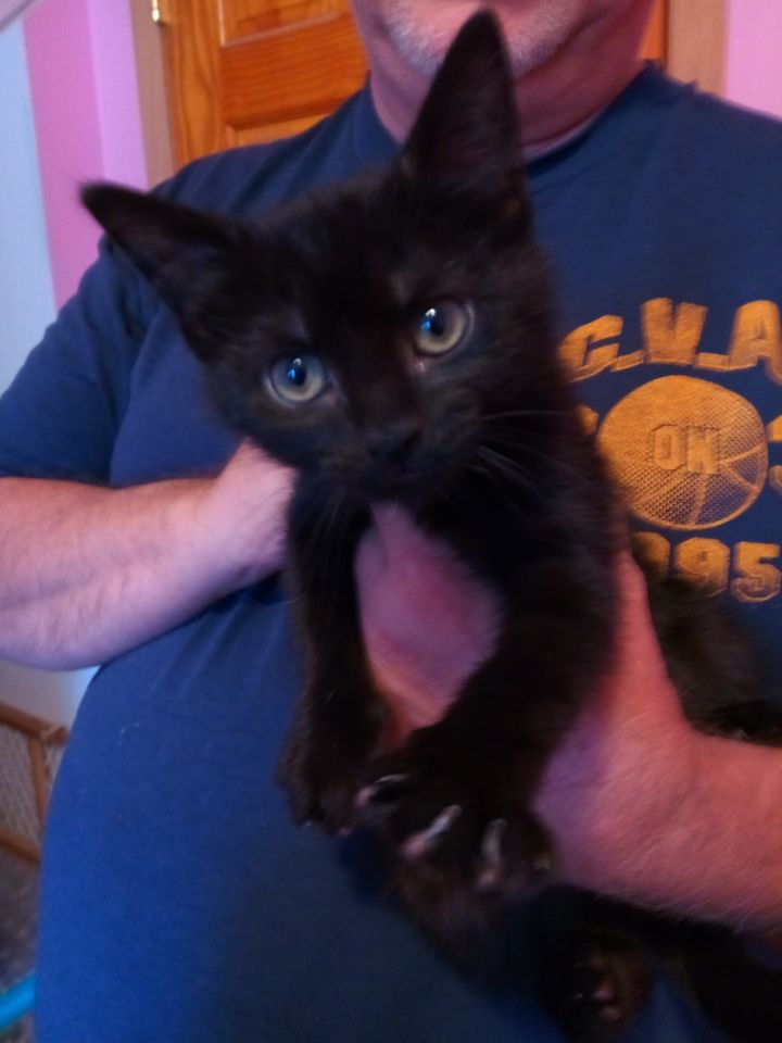 Coca-Cola, an adopted Domestic Short Hair in Oak Forest, IL