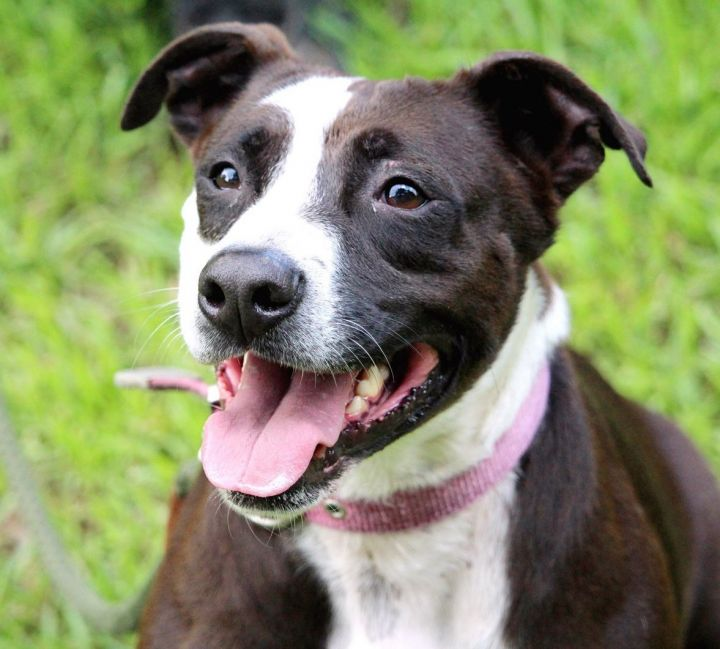 ShelleyMac, an adoptable Labrador Retriever & Pit Bull Terrier Mix in Alpharetta, GA