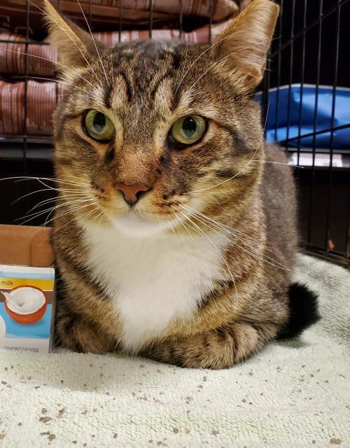 Morris, an adoptable Domestic Short Hair in Trenton, NJ