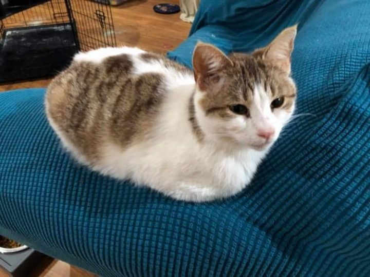Amelia, an adopted Domestic Short Hair in Eaton Rapids, MI