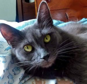 Hi my name is Lady Grey and I am a beautiful medium hair grey girl I was originally rescued as