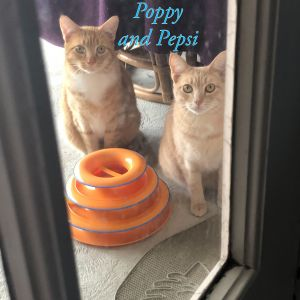 These young Orange Tabby brothers are very friendly adorable sweet  playful This bonded pair is