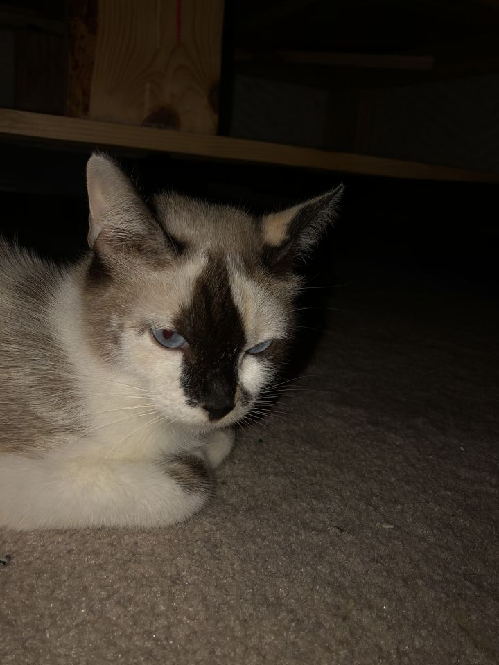 Megaphone, an adoptable Snowshoe & Domestic Short Hair Mix in Arlington, TX