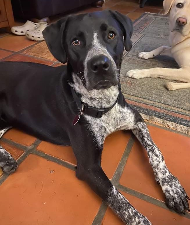 Jellybean, an adopted Great Dane & Labrador Retriever Mix in Mary Esther, FL