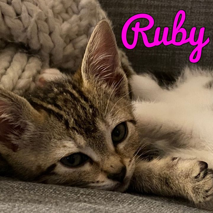 Ruby, an adopted Domestic Short Hair Mix in PORTLAND, OR