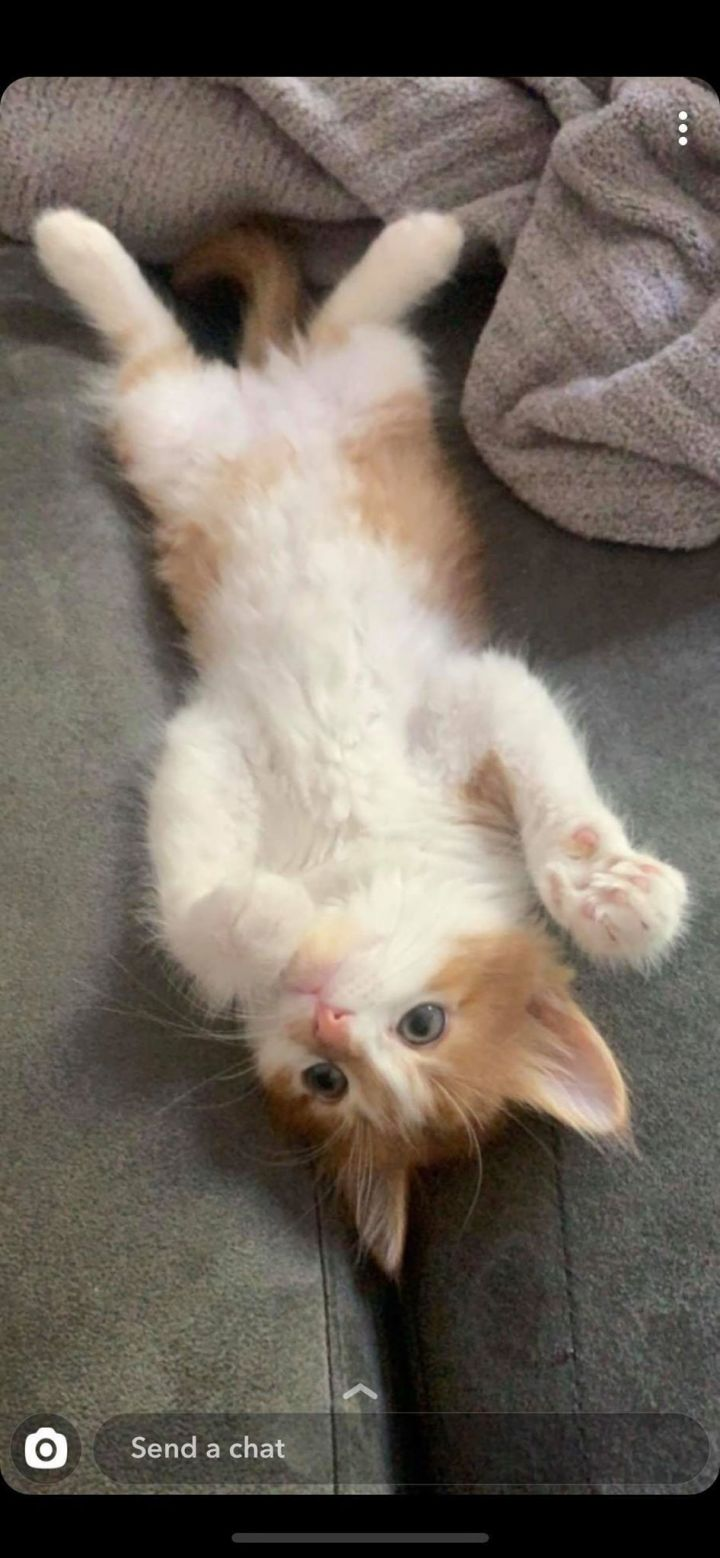Olaf, an adopted Domestic Short Hair Mix in Overland Park, KS