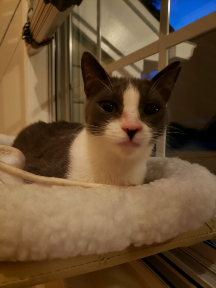 Jack, an adoptable Domestic Short Hair in Reston, VA