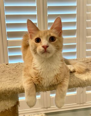 Hello my name is Jude I am a Maine Coon mix that was born about April 15 2020 I was