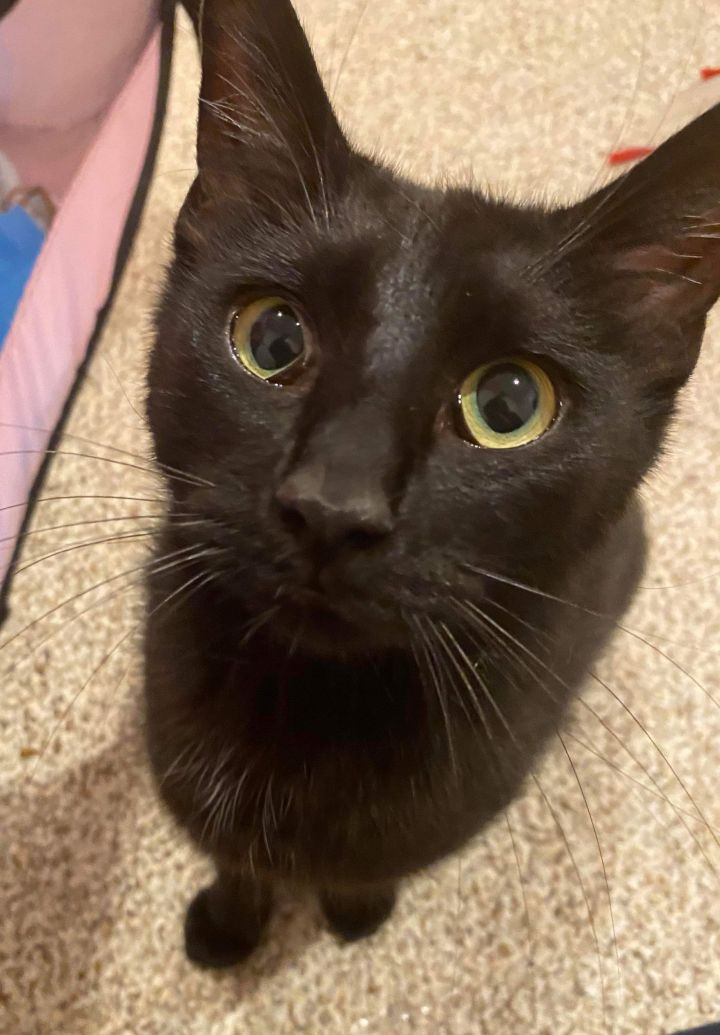 Mimosa, an adoptable Domestic Short Hair in Eaton Rapids, MI