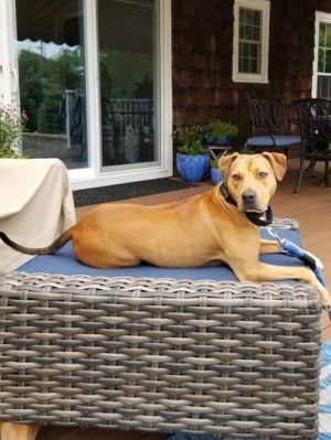 Muffin Black Mouth Cur Dog