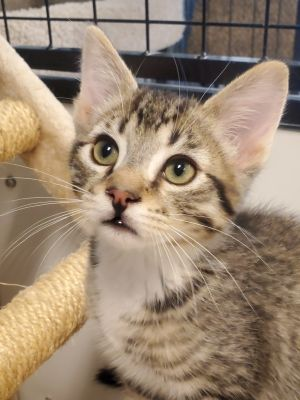 Hi my name is Jay-Z and I am a handsome brown tabby I was born on 3-29-20 Im