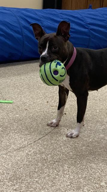 Brown Suga Baby, an adoptable Boxer & American Staffordshire Terrier Mix in Utica, MI