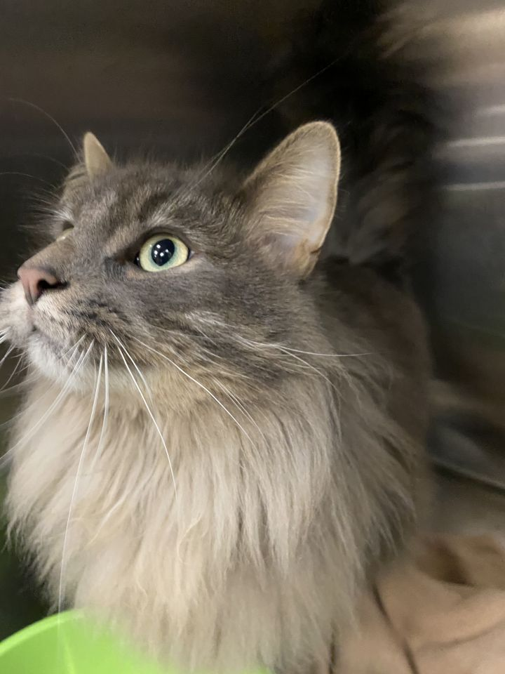Stormy, an adopted Domestic Medium Hair Mix in Appleton, WI