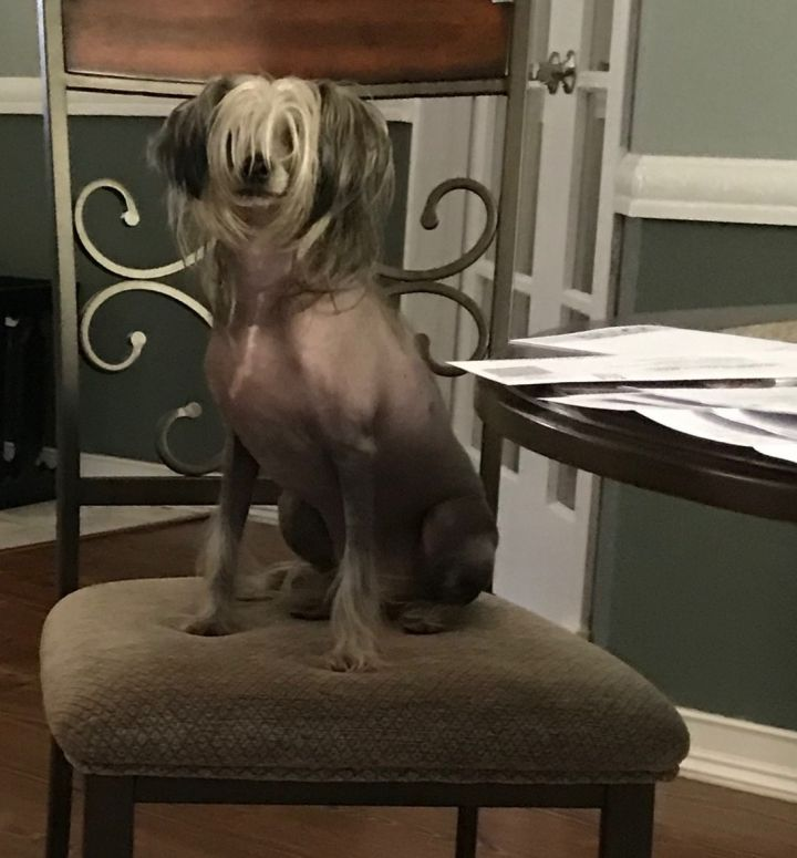 Jasper, an adopted Chinese Crested Dog in Houston, TX