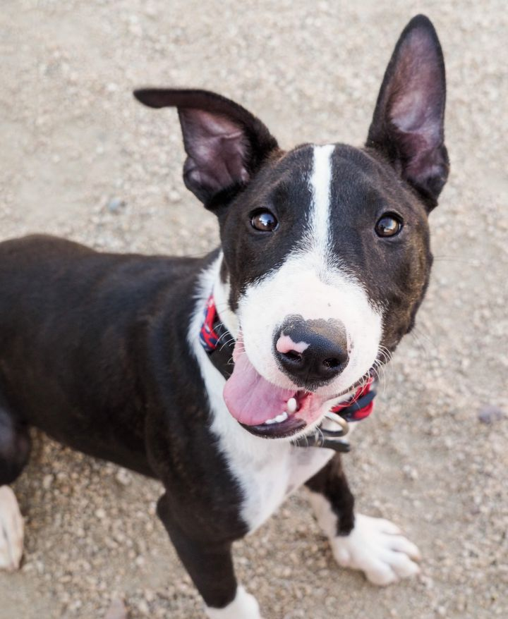 MARIE, an adopted Pit Bull Terrier Mix in Phoenix, AZ