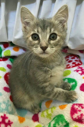 Blue, an adoptable Domestic Short Hair Mix in Palo Cedro, CA