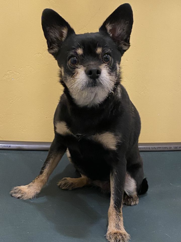 Penny, an adopted Terrier & Chihuahua Mix in Jackson, WY