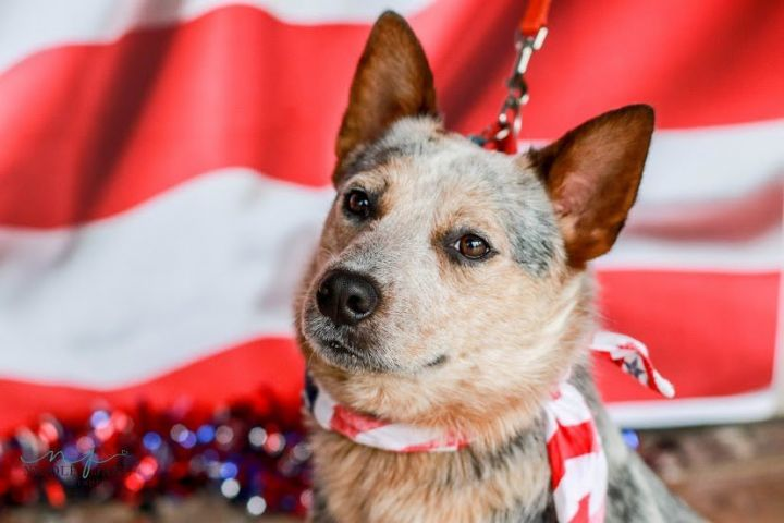 Freddy, an adoptable Cattle Dog Mix in Springfield, MO