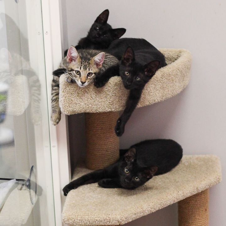 Patchouli, an adopted Oriental Short Hair & Domestic Short Hair Mix in Ponte Vedra, FL