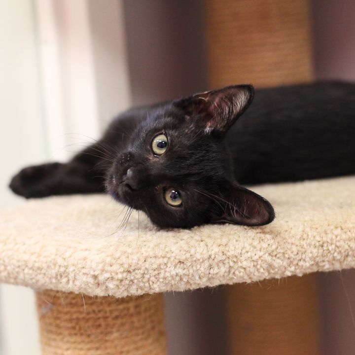 Petrello, an adopted Oriental Short Hair & Domestic Short Hair Mix in Ponte Vedra, FL