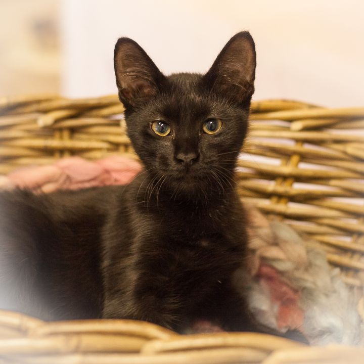 Petrello, an adoptable Oriental Short Hair & Domestic Short Hair Mix in Ponte Vedra, FL