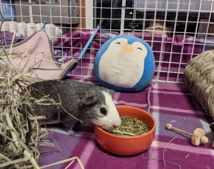 Fulton, an adoptable Guinea Pig in Saint Paul, MN