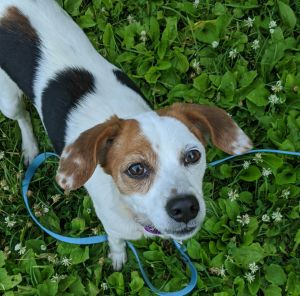 Meet Baby an adorable sweet 18 lb beagle mix She is 9 years old housebroken walks nicely on a l